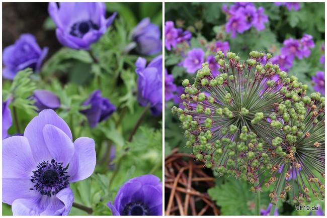 Anemonen und Allium