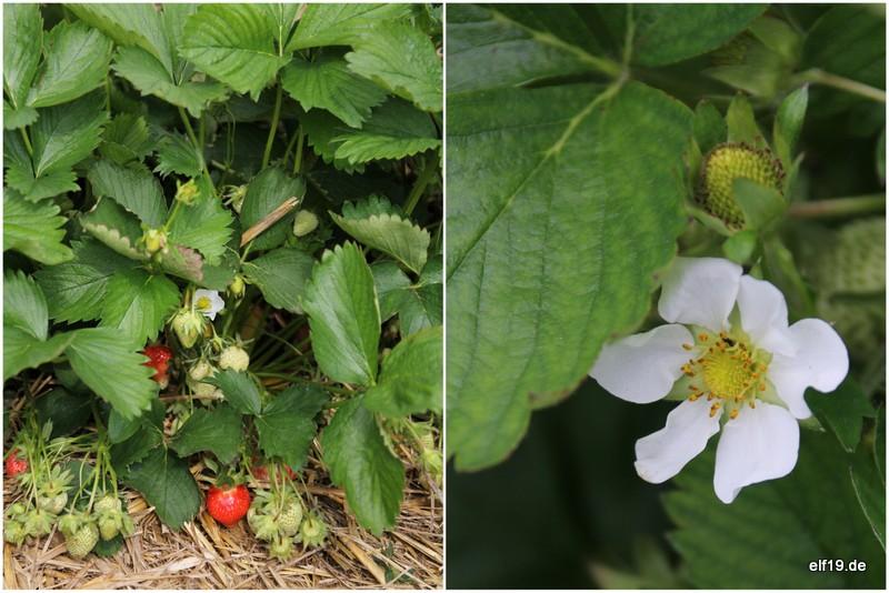Erdbeer Fruchtleder